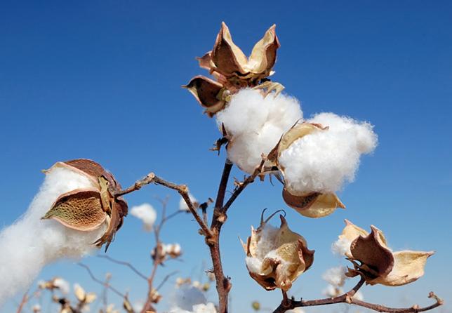organic cotton mobiente